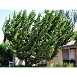 Sementes De Juniperus Chinensis 1.5 - 3