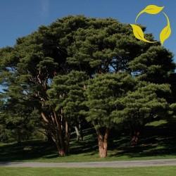 Sementes de Bonsai (Japanese Red Pine) 1.5 - 1