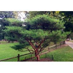Sementes de Bonsai (Japanese Red Pine) 1.5 - 2