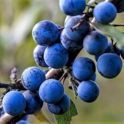 Blackthorn or Sloe Seeds (Prunus spinosa) 1.85 - 1