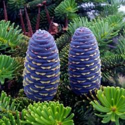 Sibirski Kedar - Bor Seme (Pinus sibirica) 3.95 - 7