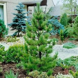 Semi di Pino siberiano (Pinus sibirica) 3.95 - 3