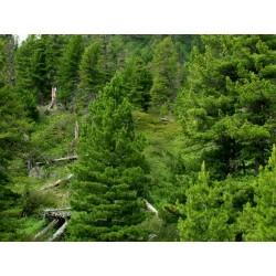 Sementes de Pinus sibirica 3.95 - 4