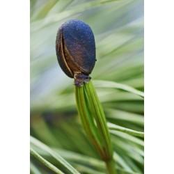 Semi di Pino siberiano (Pinus sibirica) 3.95 - 5