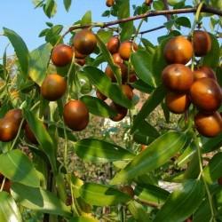Σπόροι Ζίζιφος 3.5 - 2