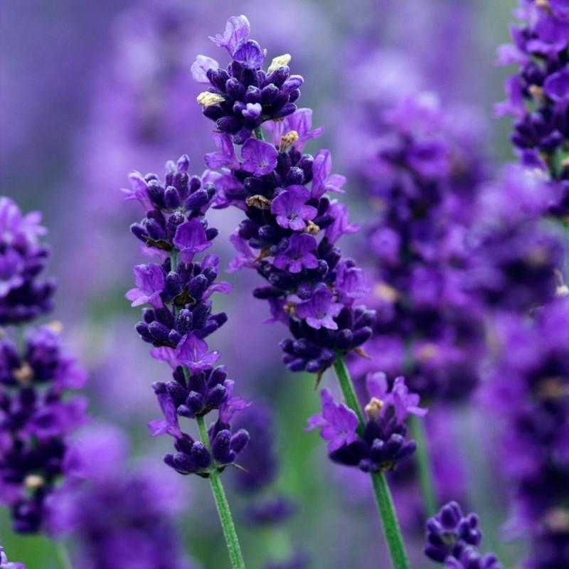 Echter Lavendel Samen Mehrjährig Winterhart bis -20C 2 - 1