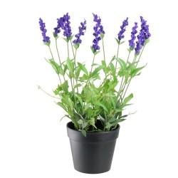 Echter Lavendel Samen Mehrjährig Winterhart bis -20C 2 - 2