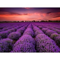Echter Lavendel Samen Mehrjährig Winterhart bis -20C 2 - 3