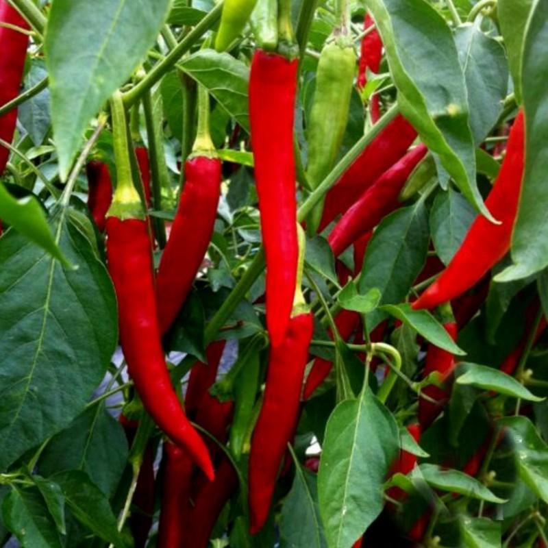 Taeyang Medium Chili Samen Mittelscharf 1.85 - 1