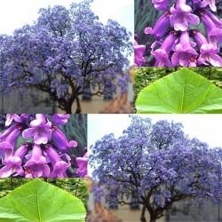 Paulovnija Elongata Seme (1000 semena) Paulownia 15 - 1