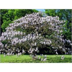 Sementes de Kiri Japonês 1.95 - 3