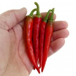 Chilli Cili Papricica RING OF FIRE Seme 1.7 - 3