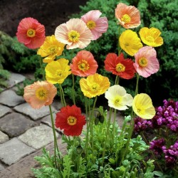 Shirley Poppy Seeds Mixed Colors, Decorative, Ornamental 2.05 - 1