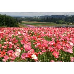 Sementes De Flor Papaver Shirley Poppy 2.05 - 2