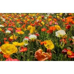 Seme Ukrasnog Maka Shirley Poppy 2.05 - 3