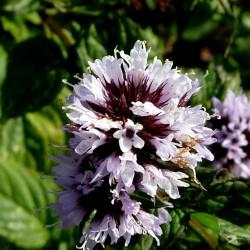 Sementes de Hortelã-pimenta 2.5 - 2