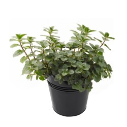 Peppermint Seeds (Mentha  piperita) 2.5 - 3