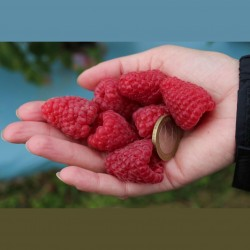 Giant Red Raspberry Seeds 1.95 - 1
