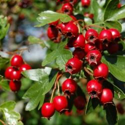 Weißdorn Samen - heilpflanze (Crataegus) 1.75 - 2