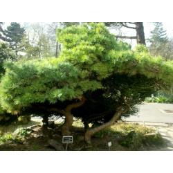Semi di Pino mugo Bonsai (Pinus mugo) 1.5 - 1