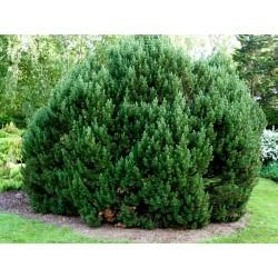Μπονσάι Σπόροι Pinus mugo 1.5 - 2