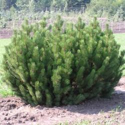 Sementes de Pinus mugo - Bonsai 1.5 - 3