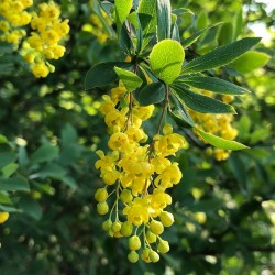 Heilpflanze Echte Berberitze, Gewöhnliche Berberitze Samen 1.95 - 2