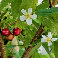 Jamaican cherry, Panama berry Seeds 1.95 - 2