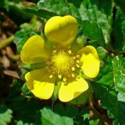 INDIJSKA JAGODA Seme (Potentilla indica) 2.35 - 1