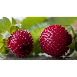 Indische Scheinerdbeere Samen 2.35 - 3