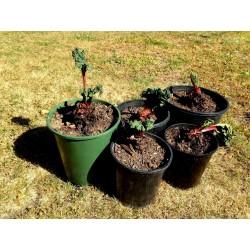 "Rhubarb Seeds ""Victoria"" (Rheum rhabarbarum) 1.85 - 3"