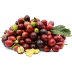 Kaffebuske - Arabisk dvärgkaffeplanta Frön 2.55 - 1