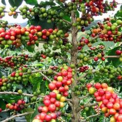 Semi di Pianta del caffè (Coffea arabica) 2.55 - 2