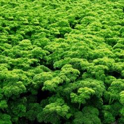 Sementes de Salsa (planta) ''Mooskrause 2'' 1.55 - 3