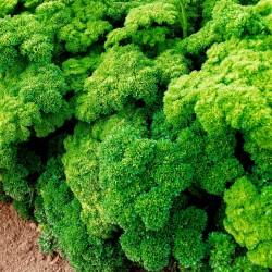 """Parsley Seeds """"Mooskrause"""" 1.55 - 1"""