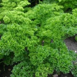 """Parsley Seeds """"Mooskrause"""" 1.55 - 5"""