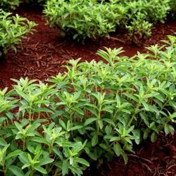 Stevia Samen Heilpflanze 1.9 - 1