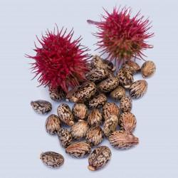 Ricinus communis Seme 1.85 - 1