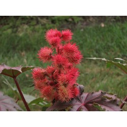 Ricinus communis Seme 1.85 - 3