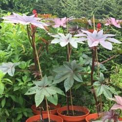 Castor Bean Seeds (Ricinus Communis) 1.85 - 4