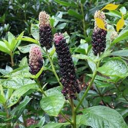 Pokeweed, Poke Sallet Seeds (Phytolacca Americana) 2.25 - 4