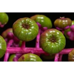 Semi di Fitolacca Phytolacca Uva Turca Cremesina (Phytolacca Americana) 2.25 - 5