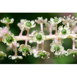 Vinobojka Seme (Phytolacca Americana) 2.25 - 7