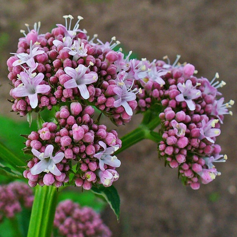 Semi di Valeriana officinalis - pianta medicinale 2.05 - 1