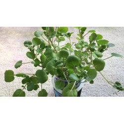 Watercress Seed - Medicinal plant 2.45 - 5