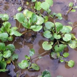 Sementes de Rorippa nasturtium-aquaticum 2.45 - 2
