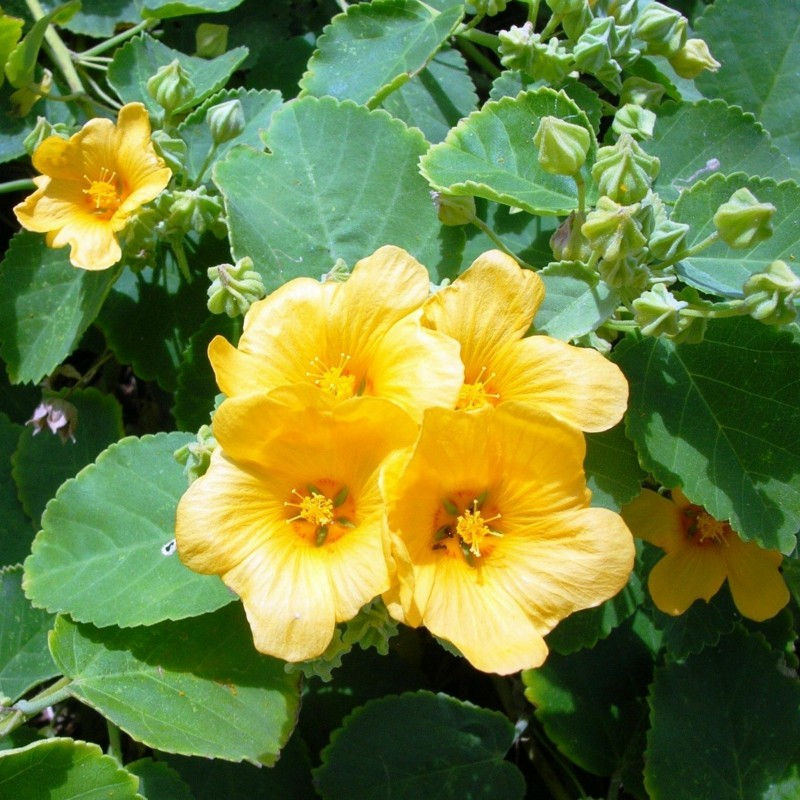 BALA, COUNTRY MALLOW Seeds 1.95 - 2
