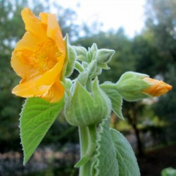 BALA, COUNTRY MALLOW Seeds 1.95 - 1