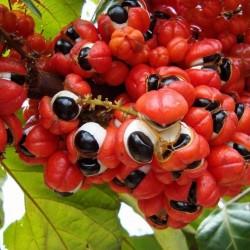 GUARANA Seeds (Paullinia Cupana) 5 - 1