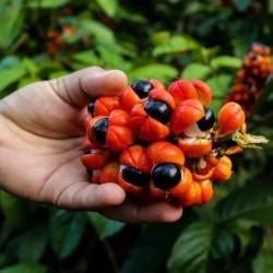 Guaraná Samen (Paullinia cupana) 5 - 2